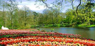 สวนสาธารณะคูเคนฮอฟ -ทุ่งดอกทิวลิป
