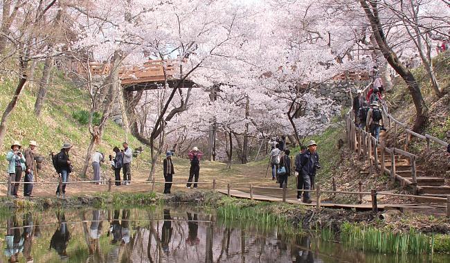 10 สถานที่ยอดนิยมสำหรับชมซากุระบาน -ซากปราสาททะคะโตะ