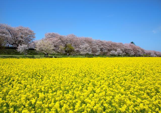 10 สถานที่ยอดนิยมสำหรับชมซากุระบาน -ภูเขาฮานามิยะมะ