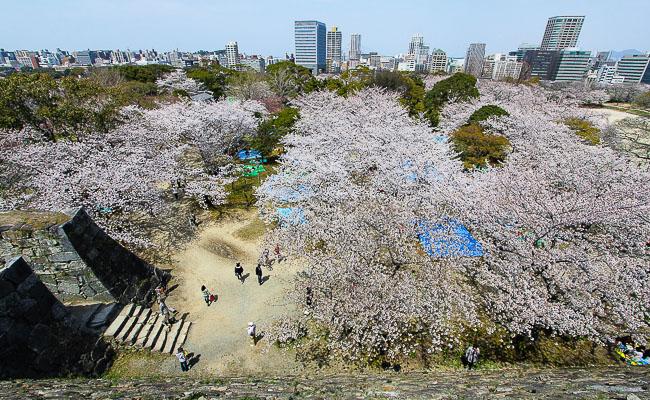 10 สถานที่ยอดนิยมสำหรับชมซากุระบาน -สวนไมซูรุ