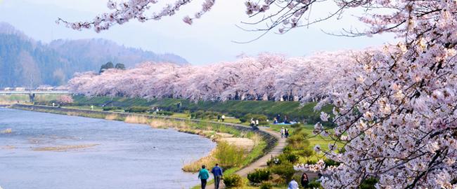 10 สถานที่ยอดนิยมสำหรับชมซากุระบาน -เมืองคาคุโนะดาเตะ