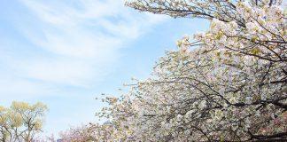 10-สถานที่ยอดนิยมสำหรับชมซากุระบาน-โรงกษาปณ์ญี่ปุ่น