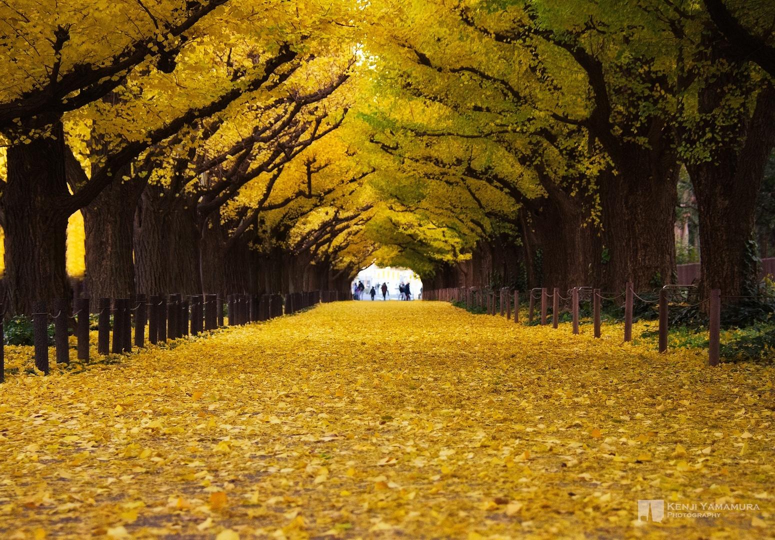 10 เเหล่งชิคสำหรับชมใบไม้เปลี่ยนสีในญี่ปุ่น -ถนนไกเอนมาเอะ