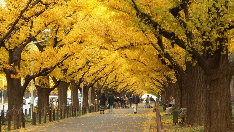 10-เเหล่งชิคสำหรับชมใบไม้เปลี่ยนสีในญี่ปุ่น-สวนเมจิ-จิงกุ-ไกเอ็น